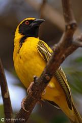 08-10-29 Sudáfrica Kruger (422) R01 (Nikobo3) Tags: áfrica sudáfrica kruger parquekruger fauna animals animales aves travel viajes nikon nikond200 d200 nikon703004556vr nikobo joségarcíacobo