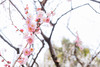 Japan.2018.012 (ginomempin) Tags: plumblossoms ume flowers tree spring japan fujixt2 fujifilmxt2 fujifilmxseries