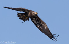 Immature Bald Eagle with Fish (Explored) (Mitch Vanbeekum Photography) Tags: baldeagle americanbaldeagle american 3yearold conowingo conowingodam md maryland mitchvanbeekum mitchvanbeekumcom canon14teleconvertermkiii canoneos1dx canonef500mmf4lisiiusm immature immaturebaldeagle