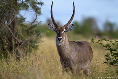Waterbuck bull up close (leendert3) Tags: leonmolenaar southafrica krugernationalpark wildlife nature mammals antelope waterbuck ngc npc