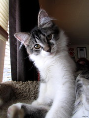 If you've got the ear hair....flaunt it! 😄 (Lisa Zins) Tags: lisazins tn tennessee winter weather elijah cat feline kitten mainecoonmix mainecoonmixkitten january 2018 face animals petsandanimals earhair furnishings innerearhair