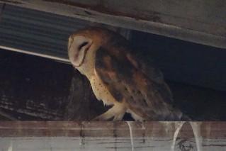 Barn Owl--Tyto alba