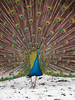 beautiful peacock (nicolasgirodon) Tags: peacock birds nature colors closeup wildlife snow