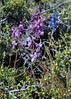 Delphinium, Lassen Co., CA (RonParsonsflowershots) Tags: delphinium lassenco ca