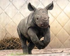 black rhino Blijdorp BB2A2206 (j.a.kok) Tags: rhino rhinoceros zwarteneushoorn blackrhinoceros neushoorn puntlipneushoorn africa afrika herbivore animal mammal zoogdier dier babyneushoorn babyrhino blijdorp