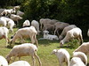 sheep (Sergio Pandiscia) Tags: gregge pecore cane sheep