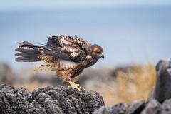 Galapagos Hawk - Juvenile 500_3511.jpg (Mobile Lynn - Limited internet) Tags: birdsofprey wild birds galapagoshawk nature bird birdofprey buteogalapagoensis fauna raptor wildlife puntasuarezespanolaisland galapagosislands ecuador ec coth specanimal coth5 ngc npc