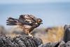 Galapagos Hawk - Juvenile 500_3511.jpg (Mobile Lynn) Tags: birdsofprey wild birds galapagoshawk nature bird birdofprey buteogalapagoensis fauna raptor wildlife puntasuarezespanolaisland galapagosislands ecuador ec coth specanimal coth5 ngc