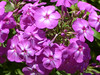 Phlox P1340859mods (Andrew Wright2009) Tags: dorset england uk scenic britain holiday vacation abbotsbury subtropical gardens plants flowers cultivated phlox pink mauve