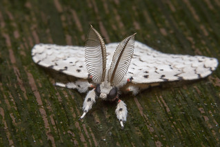 _Z2A3528 tussock moth