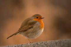 red robin (1laura0) Tags: robin pettirosso trovato colori arancio uccellino bird birdwatching inverno winter wild wildanimal picoftheday explore