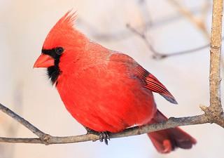 northern cardinal male at Lake Meyer Park IA 854A7105