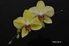 Les orchidées, compagnes de nos hivers... / Orchids, our winter companions... (Pentax_clic) Tags: imgp5439 pentax kx orchidée fleur robert warren janvier 2018 vaudreuil quebec