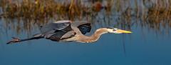 Great Blue Heron (Ardea herodias) (sharp shooter2011) Tags: greatblueheron ardeaherodias avianphotography naturephotography wildlifephotography birdphotography canoneos7dmarkii