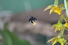 (Rodrigo Paganini) Tags: inseto bug planta plant flor flower orquidea nikon d3100 70300mm dx mangangá mamangaba mangango mamangava mangava mangangava matacavalo nature natureza