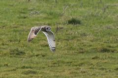 Short Eared Owl-7277 (WendyCoops224) Tags: winterwatch 100400mml 80d fens canon eos ©wendycooper asio flammeus short eared owl