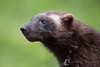 Elusive Visitor (LawrieBrailey) Tags: wild animal north northern finland russia wolverine wildlife photo photography close up head shot face headshot elusive mammal mustelid lawrie brailey scandanavia secret secretive nikon d3 afs nikkor 500mm f40 vr