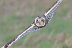 Short-eared Owl (KHR Images) Tags: shortearedowl short eared owl asioflammeus wild bird birdofprey hunting flying nenewashes cambridgeshire wildlife nature nikon d500 kevinrobson khrimages