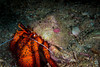 white spotted hermit crab (b.campbell65) Tags: thailand animal aquarium aquatic beautifu beautiful beauty biology blue close closeup colorful coral creature diving exotic hermitcrab island life marine natural ocean pacific portrait reef saltwater scuba sea travel tropic tropical underwater vacation water whitespottedhermitcrab wild wildlife