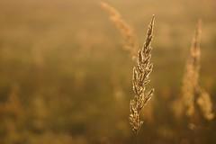 *** (pszcz9) Tags: przyroda nature natura zbliżenie closeup trawa grass bokeh beautifulearth sony a77