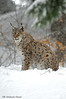 Lince _007 (Rolando CRINITI) Tags: lince felini mammiferi bayerischerwaldnationalpark neve germania natura libertàcontrollata