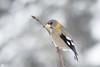 ''Ton sur ton!'' Gros-bec errant (pascaleforest) Tags: oiseau bird animal passion nikon nature wild wildliffaune québec canada winter hiver snow neige