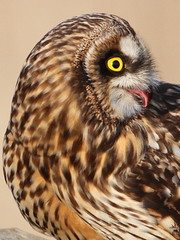 "The ""I need an after-dinner mint"" face.... (Paridae) Tags: owl shortearedowl asioflammeus familystrigidae owlportrait birdsofprey birdsofafeather birdsofboundarybay birdsofbritishcolumbia raptor thingswithwings predators afewofmyfavouritethings canoneos7d canon500mm"