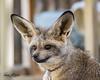 Kusikia (ToddLahman) Tags: kusikia batearedfox fox portrait beautiful outdoors animal animalambassador sandiegozoosafaripark safaripark canon7dmkii canon canon100400 closeup