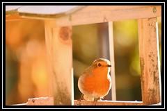 """Robin Rim Lit..."" (NikonShutterBug1) Tags: nikond7100 tamron70300mm birds ornithology wildlife nature spe smartphotoeditor birdfeedingstation bokeh birdsfeeding robin"