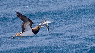 Brown Booby about to have lunch!!!!!!!
