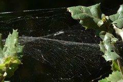 Sheet Web Weaver (Linyphiidae) spider web (Treebeard) Tags: spider web sheetwebweaver hammockspider pityohyphantes linyphiidae coastliveoak quercusagrifolia fagaceae sanmarcospass santabarbaracounty california