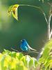 Bunting, Indigo (@Michael) Tags: bunting em1ii gear indigobunting minnesota olympus olympus300mmf4 passerinacyanea places statepark wabasha whitewaterstatepark wildlife