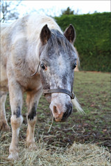 Inca Dove I (meniscuslens) Tags: horse trust buckinghamshire aylesbury princes risborough charity rescue pony paddock hedge fodder