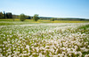 Blowball Meadow (Enaruna) Tags: 24mm 24mmf14 24mm14 badenwuerttemberg badenwürttemberg blowball blowballs dandelion dandelionseedhead deutschland faded frühling germany grassland heckenundschlehengäu heckengäu landscape landschaft löwenzahn maisgraben meadow pflanze pflanzen plant plants pusteblume pusteblumen spring taraxacum taraxacumsectruderalia verblüht wiese