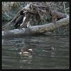 KUSA-3587-2 (Weinstöckle) Tags: mandarinente aixgalericulata ente vogel wasservogel enz kormoran
