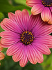 x170523_010_africandaisies (dorothylee) Tags: flowers floral flower botanical garden nature color colour colorful colourful dorothyleephotography photography photo photograph pretty beauty beautiful dorothylee fresh africandaisy daisy daisies