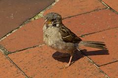 IMG_5532 (Lightcatcher66) Tags: spatzensparrows florafauna makros lightcatcher66
