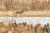 Prowling coyote (dpsager) Tags: bird birds bosquedelapache bosquedelapachenationalwildliferefuge coyote dpsagerphotograph newmexico socorrocounty ducks