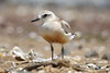 Red-breasted Dotterel (Robert Treichler) Tags: redbreasted red breasted dotterel coromandel peninsula new zealand