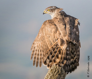 Azor / Astor / Northern goshawk