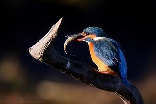 Kingfisher 94275