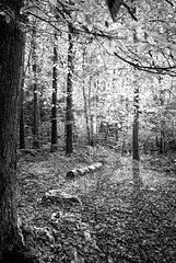 "black & white fine art - step into the forest clearing, Bois de Breuil, near Honfleur, Calvados, Normandy, France (grumpybaldprof) Tags: bw blackwhite ""blackwhite"" ""blackandwhite"" noireetblanc monochrome ""fineart"" ethereal striking artistic interpretation impressionist stylistic style contrast shadow bright dark black white illuminated ""boisdubreuil"" ""forestofbreuil"" honfleur vasouy penndepie conservation ""conservatoiredulittoral"" rhododendrons ""coastalconservancy"" bois forest trees deciduous coniferous wood woods coastline ""dukesofnormandy"" french kings ""philippeauguste"" breuil wildlife wildboar ""pinemarten"" ""redfox"" deer ""forestwalk"" landscape branches leaves noiretblanc shapes patterns veins woodland normandy normandie france calvados canon 70d ""canon70d"" tamron 16300 16300mm ""tamron16300mmf3563diiivcpzdb016"""