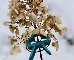 Fasteners - - hold (Ute Scheele) Tags: makro macro macromondays macromandays plant pflanze planta outdoor snow blüte blossom blume bloom closeshot closeup canoneos80d canon eos80d eos digital tamron winter garten garden pflanzlich plants icecrystal flower frosty