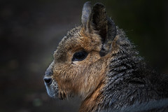 Pampashase (huetteberg) Tags: capybara wasserschwein nagetier säugetier animal tier portrait zoo hamburg hagenbeck canon 7d outdoor huetteberg