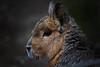 Capybara (huetteberg) Tags: capybara wasserschwein nagetier säugetier animal tier portrait zoo hamburg hagenbeck canon 7d outdoor