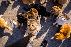 thrivers on islands #121 (Aoshima Island, Ehime) (Marser) Tags: ricohgr gr grd raw lightroom japan ehime island cat clinging 愛媛 青島 猫 貓