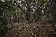 Ushuaia, Tierra del Fuego, Argentina (pas le matin) Tags: forest forêt tree wood arbre bois travel voyage world argentine argentina patagonia patagonie tierradelfuego terredefeu landscape paysage canon 5d 5dmkiii canon5dmkiii eos5d eos5dmkiii canoneos5dmkiii ushuaia