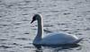 Zwaan 2018 1 (megegj)) Tags: gert vogel bird zwaan swan