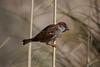 Pardal (Carlos Santos - Alapraia) Tags: pardal ngc ourplanet animalplanet canon nature natureza wonderfulworld highqualityanimals unlimitedphotos fantasticnature birdwatcher ave bird pássaro