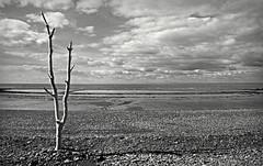 Canon EOS 60D - Mono - Beach Tree with a view to Wales (Gareth Wonfor (TempusVolat)) Tags: picmonkey mono black white beach tree planted stones pebbles stone pebble barren solitude alone lonely garethwonfor tempusvolat mrmorodo gareth wonfor tempus volat canon eos 60d